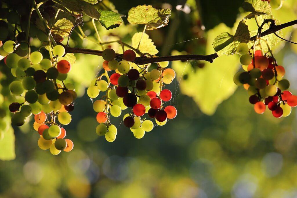 Migliolungo, vigna uva