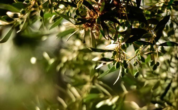 Olive olio vestino abruzzese