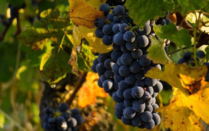 Uva, mondo vitivinicolo