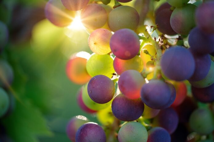 vendemmia, uva