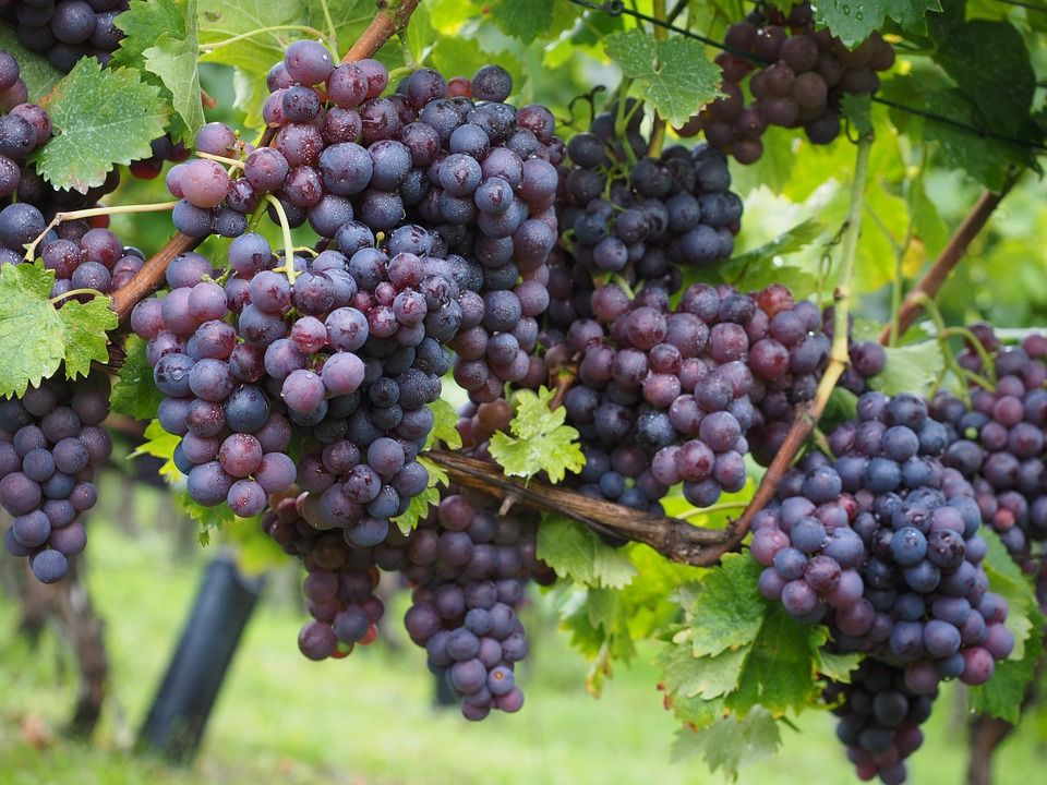 FIVI4FUTURE, vigne senza fitosanitari